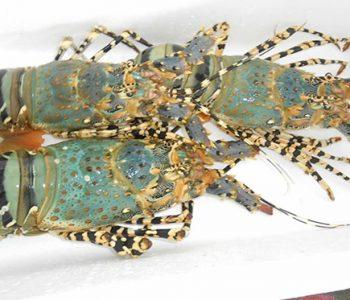 印尼七彩龍蝦
