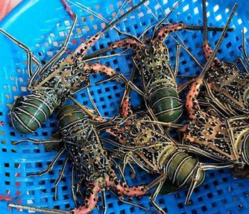 印尼白秋龍蝦