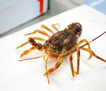 南非黃金龍蝦