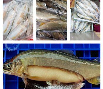 台灣凍母香魚(德島牌)